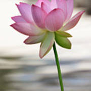 Pink Lotus Vertical Art Print