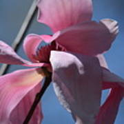Pink Magnolia Closeup Art Print