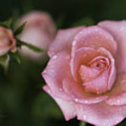 Pink Miniature Roses 3 Print by Roger Snyder