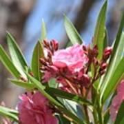 Pink Oleander IIi Art Print