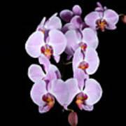 Pink Orchid Iv Art Print