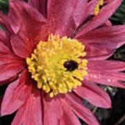 Pink Pasque Flower Art Print