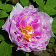 Pink Peony Blossom Art Print