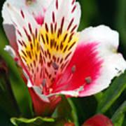 Pink Peruvian Lily 1 Art Print