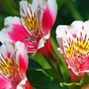 Pink Peruvian Lily 2 Art Print