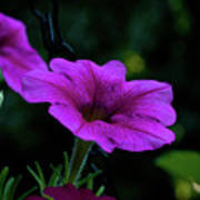 Pink Petunia, Dusk, Hunter Hill, Hagerstown, Maryland, July 25,  Art Print