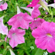 Pink Petunia Flower 11 Art Print