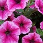 Pink Petunia Art Print