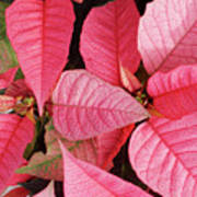 Pink Poinsettias Art Print
