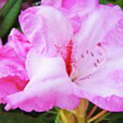Pink Rhododendron Art Print Floral Canvas Rhodies Baslee Troutman Art Print
