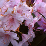 Pink Rhododendrums  Art Print