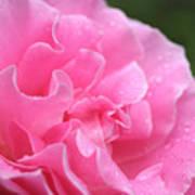 Pink Rose - 2 Art Print