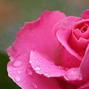 Pink Rose After The Rain Art Print