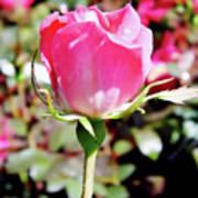 Pink - Rose Bud - Beauty Art Print