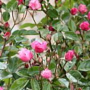 Pink Rose Buds Art Print