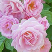 Pink Rose Cluster II Art Print