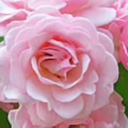 Pink Rose Cluster IIi Art Print