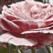 Pink Rose Faded Art Print