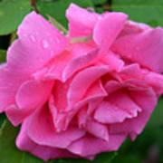 Pink Rose In Profile Art Print