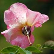 Pink Rose In The Rain 2 Art Print