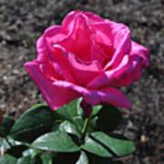 Pink Rose Art Print by Luke Moore