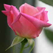 Pink Rose Squared Art Print