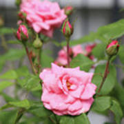 Pink Rose With Buds Art Print