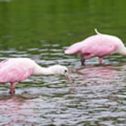 Pink Roseate Spoonbills Feeding Art Print