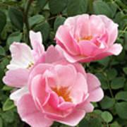Pink Roses 1 Art Print