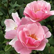 Pink Roses 2 Art Print