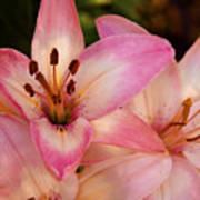 Pink Spring Lilly Art Print