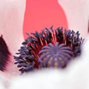 Pink Through The Poppy Art Print