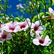 Pink Trumpet Flowers In Pilgrim Place In Claremont-california Art Print