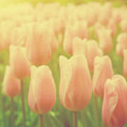 Pink Tulip Flowers In The Garden On Sunny Day In Spring Art Print