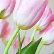 Pink Tulip Flowers Art Print