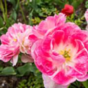 Pink Tulip, Keukenhof Art Print
