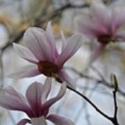 Pink Tulip Magnolias Art Print