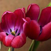 Pink Tulip Pair Art Print