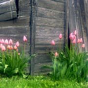 Pink Tulips And Weathered Shed Art Print