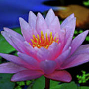Pink Water Lily 007 Art Print