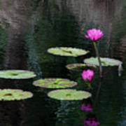Pink Waterlillies Art Print