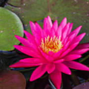 Pink Waterlily Garden Art Print