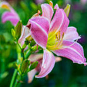 Pink White And Yellow Day Lily Art Print