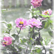 Pink Zinnias Art Print