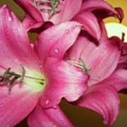 pinks Lilli Art Print