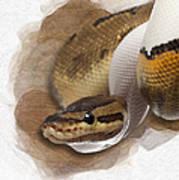 Pinstripe Pied Royal Python 01 Art Print