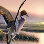 Pintail Duck-3rd Place Wi Art Print