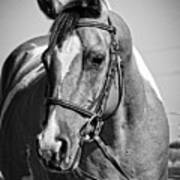 Pinto Pony Portrait Black And White Art Print