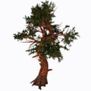 Pinus Aristata Tree Art Print