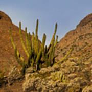 Pipe Organ Cactus At Sunrise Art Print